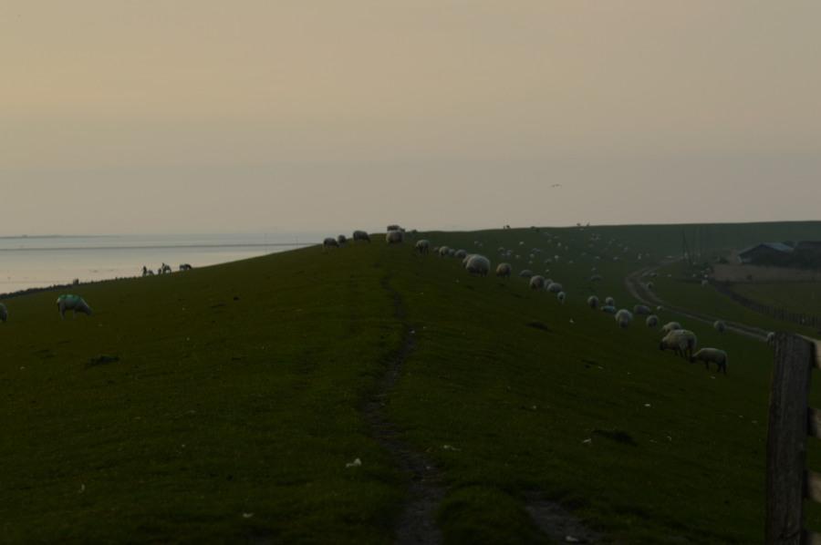 Schafe Deich